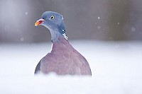 Common Wood Pigion in the snow (Columba palumbus).