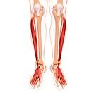 Human leg musculature, computer artwork.