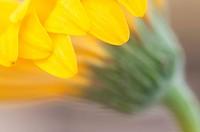 A macro of a sunflower