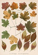 Maple and spindle tree leaves in autumn colours