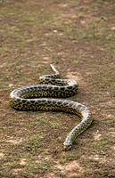 Green Anaconda, eunectes murinus, Pantanal in Brazil.