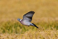 Common Wood Pigeon (Columba palumbus) landing in cornfield / wheat field to forage on cereals in farmland