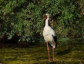 White Stork foraging, Ciconia ciconia, Germany, Europe / Weissstorch auf Futtersuche, Ciconia ciconia, Deutschland, Europa