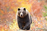 Close-up of a brown bear (Ursus arctos) in autumn in the bavarian forest.