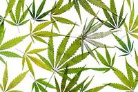 Marijauan (Cannabis sativa) leaves on white.