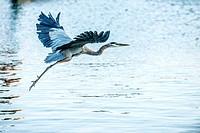 Great Blue Heron, Ardea herodias, Taking Flight near Corolla, NC USA