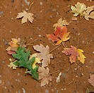 Fallen maple leaves in autumn, Zion National Park, Utah, USA
