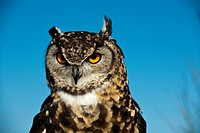 Cape Eagle Owl (Bubo capensis). KwaZulu Natal. South Africa
