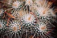 Succulent, Cactus