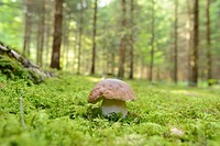 Close-up of a penny bun (Boletus edulis) in a forest