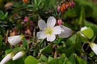Blüte und Blütenknospen