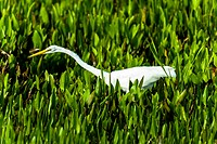 Single Great Egret