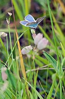 Polyommatus icarus, Common Blue