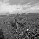 Harvesting Sugar Beets, Scania, Sweden, 1949.