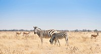 Plains Zebra (Equus quagga) with foal, Etosha National Park, Namibia