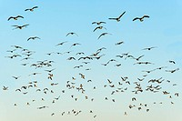 Flock of black-headed gulls