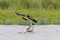 Northern Lapwing (Vanellus vanellus) adult, breeding plumage, in flight, mobbing Lesser Black-backed Gull (Larus fuscus) adult, on water, Suffolk, Eng...
