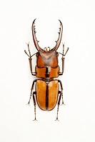 Stag Beetle, Beetle, Insect, Coleoptera, prosopocoilus suturalis,