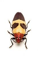 Jewel Beetle, Beetle, Insect, Coleoptera,