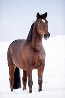 Latvian Riding Horse. Bay adult standing in snow. Germany
