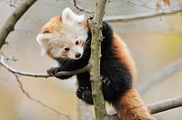 Red panda (Ailurus fulgens) youngster on a bough.