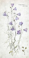 Harebell sketch - dated 29 July 1910