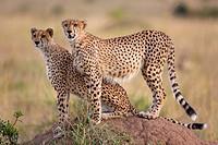 Cheetahs (Acinonyx jubatus) on termite mound, Masai Mara, Kenya.