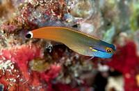 Tailspot Blenny (Ecsenius stigmatura), Friwinbonda, Dampier Straits, Raja Ampat, West Papua, Indonesia.