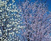 Yulan magnolia and cherry tree