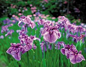 Field of iris, close up
