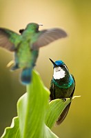 White-throated Mountaingem humming bird (Lampornis castaneoventris)