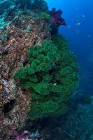 Dendrophyllia Micarantha Coral