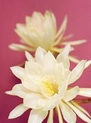 Dutchman?s Pipe flowers, Kusatsu, Shiga Prefecture, Japan