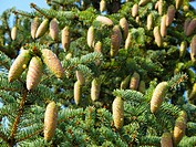 Heilongjiang Daxinganling rare species of spruce cones
