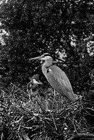 Grey Heron at nest Walthamstow No 5 Reservoir. Taken by Eric Hosking in 1951