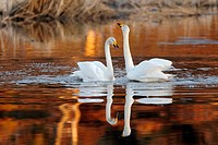 Whooper Swan (Cygnus cygnus), Skåne, Sweden.