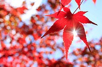 Sun Shining Through Maple Leaf