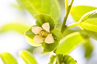 Persimmon flower
