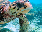turtle in the atoll
