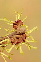 Chinese Witch Hazel (Hamamelis mollis), flowering, native to China