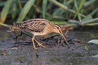 Common Snipe (Gallinago gallinago) adult, feeding, standing on mud, Hong Kong, China, October