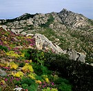 Giant fennel (Ferula communis) and Elands Sourfig (Carpobrotus acinaciformis), Caprera Island, La Maddalena Archipelago National Park, Sardinia, Italy...