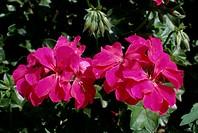 Ivy-leaved geranium (Pelargonium x hederaefolium ), Geraniaceae.