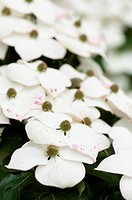 Flowering dogwood, Cornus kousa flowers.