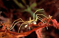 Sea spider male carrying eggs