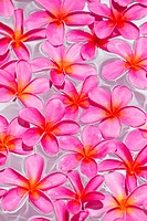 Pink Plumerias (frangipanis) floating in water; Maui, Hawaii, United States of America