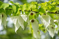 Handkerchief tree (Davidia involucrata) flowers and leaves, native to China