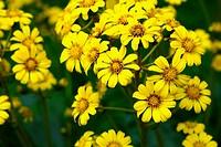 Yellow chrysanthemum flowers. Tokyo Prefecture, Japan