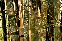 Australia, New South Wales, Sydney, names and dates carved on trunks of bamboo (Bambusoideae) in Royal garden
