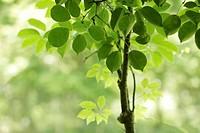 Tree, close_up, Chiba Prefecture, Honshu, Japan